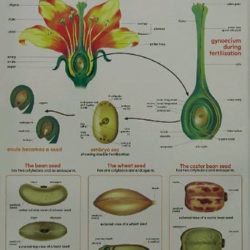Seed Formation Poster 760 x 520mm