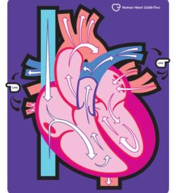 Human Heart Walk-Thru