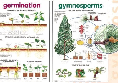 Chart Seed Germination 52x76cm