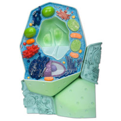 Model Typical Plant Cell